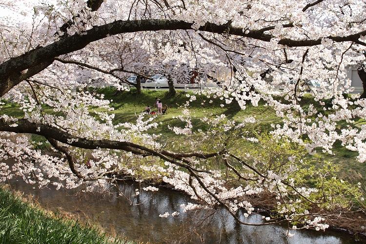 御油の桜22