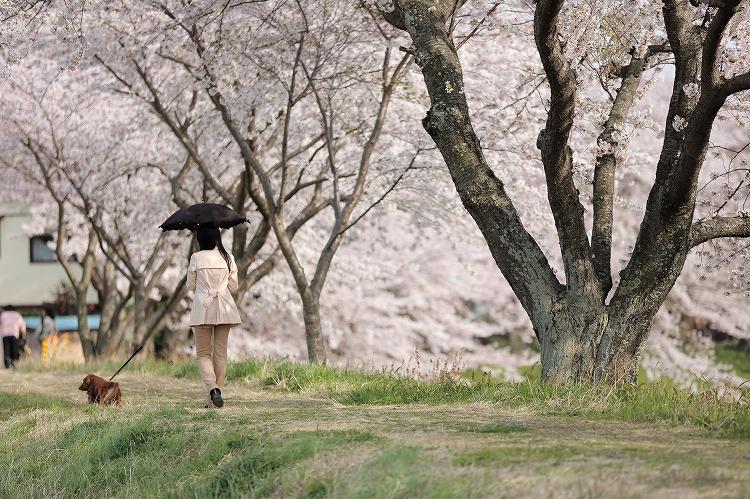 御油の桜21