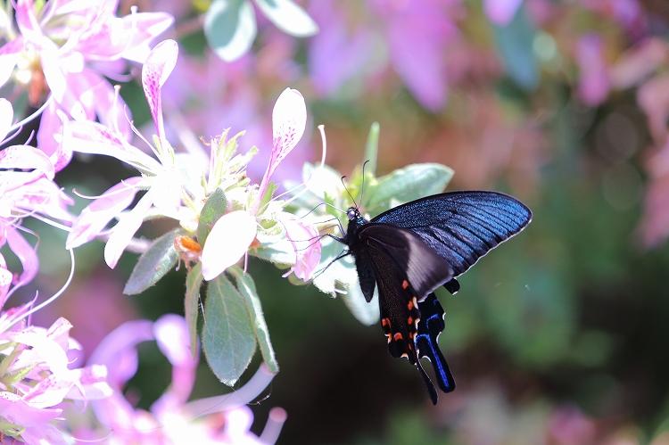 殆どの蝶の出待ち04