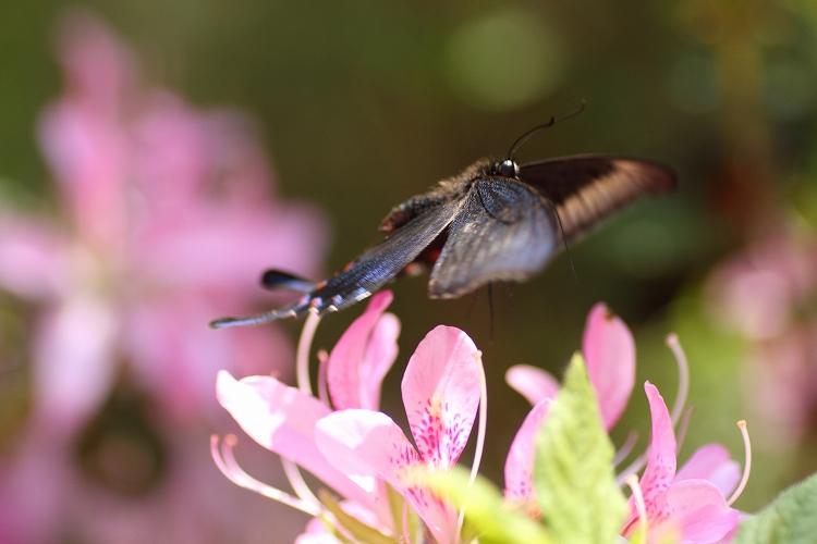殆どの蝶の出待ち02