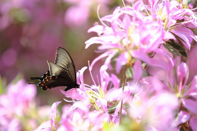 殆どの蝶の出待ち01