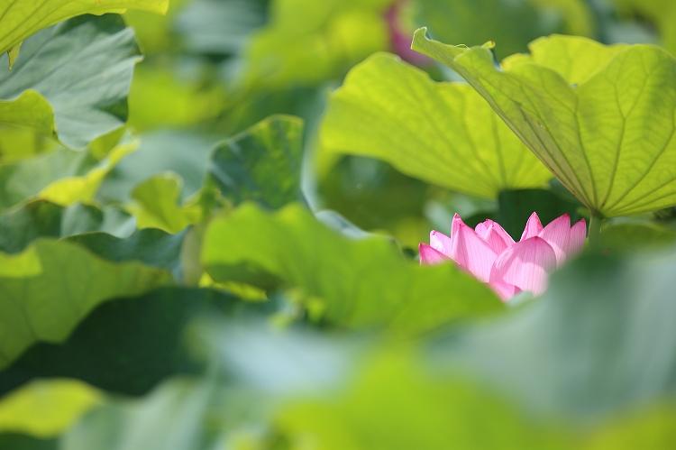 ワンパターン花はす04