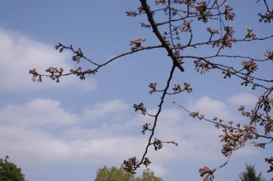 3.桜はまだ蕾