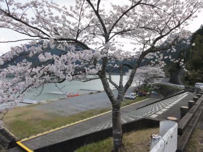 月漕艇場の桜1