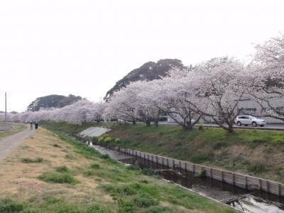 御陣屋川桜1
