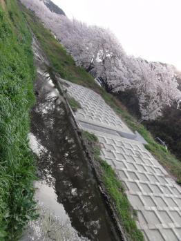 御陣屋川桜2