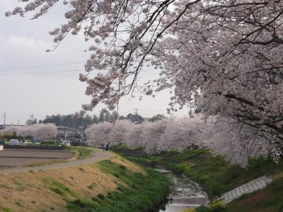 御陣屋川桜4