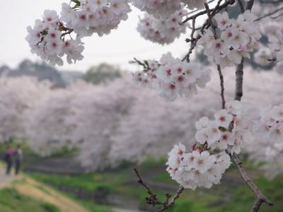 御陣屋川桜5
