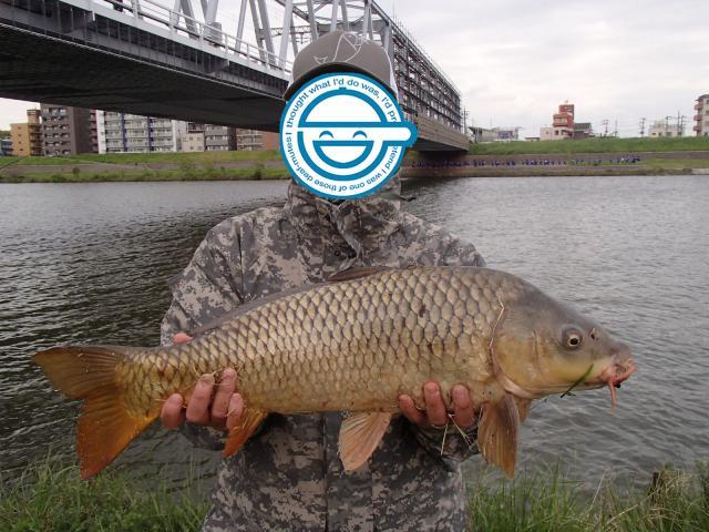 江戸川の鯉