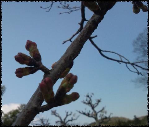 H12.4.1 の桜