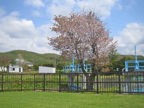 遊水公園・桜
