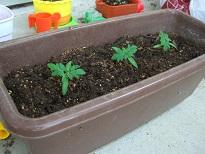 ミニトマト植え替え