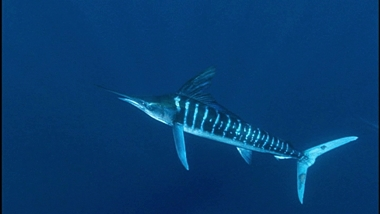 sailfish1_380.jpg