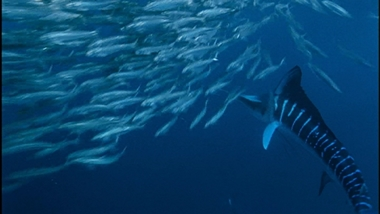 sailfish3_380.jpg