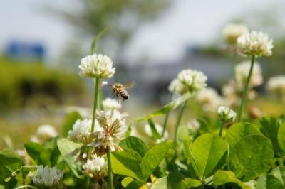 ハチさんと花