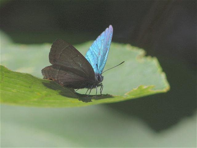 オオミドリシジミ♂-Im6_5606