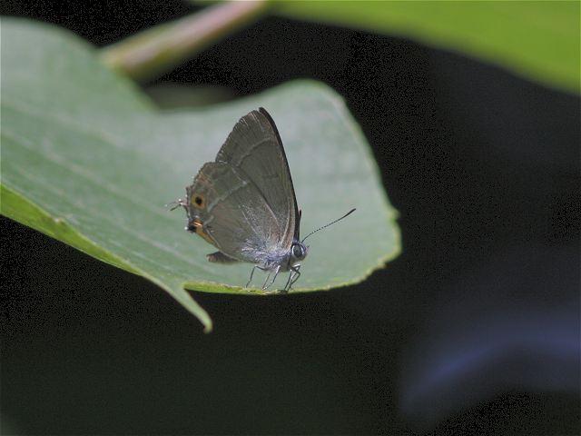 オオミドリシジミ♂-Im6_5609