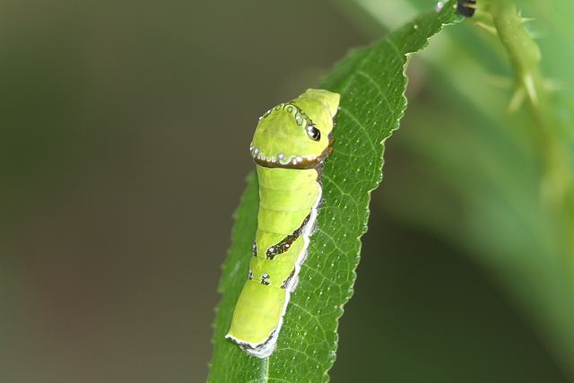 モンキアゲハ幼虫35mm-Im0_2271