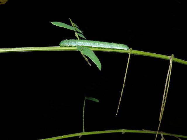 キチョウ終齢幼虫-P9232864
