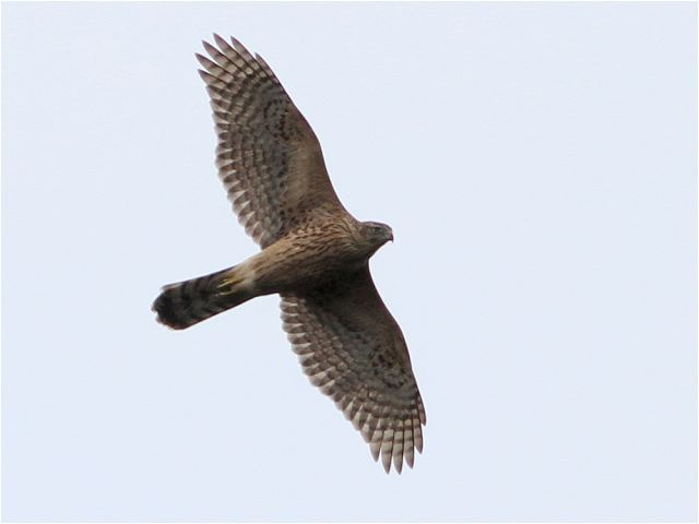 オオタカ幼鳥-Im0_5383