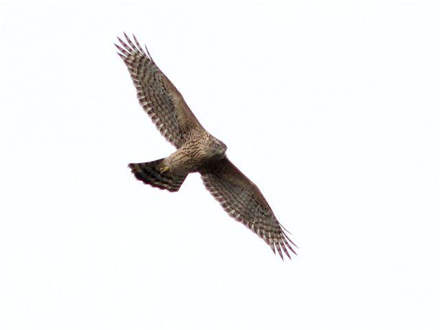 オオタカ幼鳥-Im0_6778