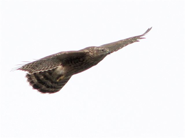 オオタカ幼鳥-Im0_6751