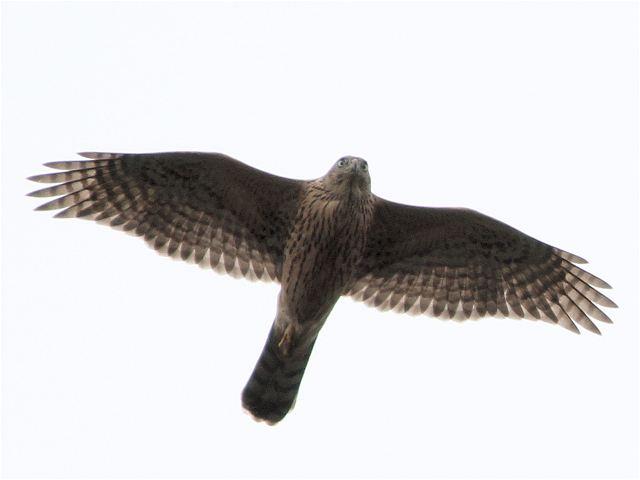 オオタカ幼鳥-Im0_6816