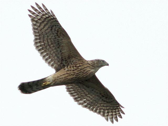 オオタカ幼鳥-Im0_6728