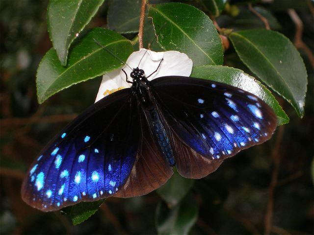 ツマムラサキマダラ-Pb170335