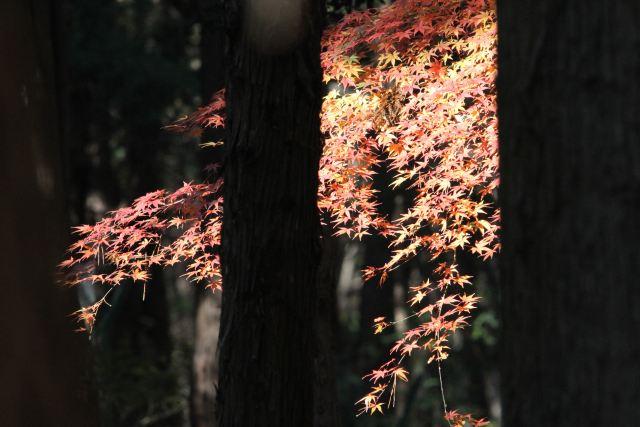もみじ-Img_0251