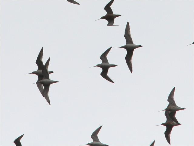 オオソリハシシギ-Im3_9663
