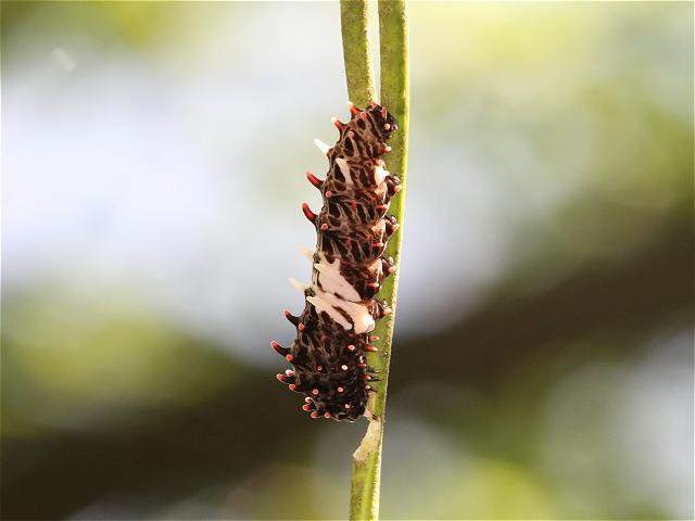 ジャコウアゲハ幼虫-Im5_7860