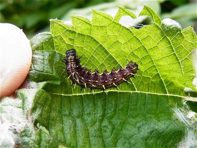 アカタテハ幼虫-Rimg0002_2011-09-04