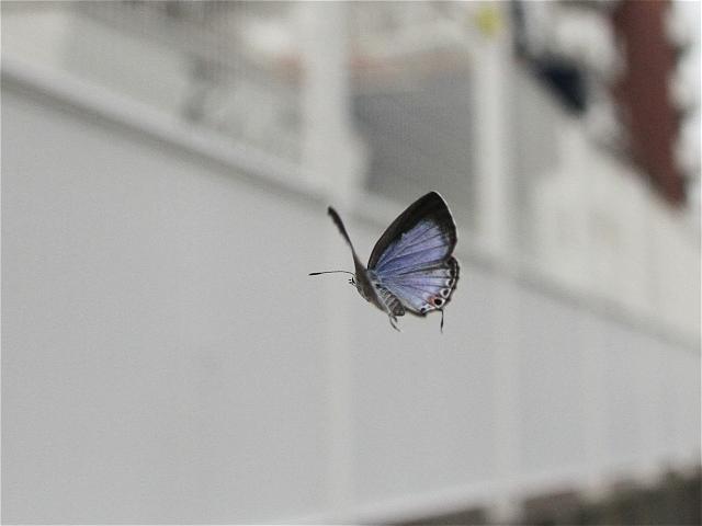 クロマダラソテツシジミ♀飛-Im6_8534