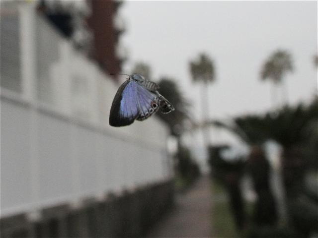 クロマダラソテツシジミ♀飛-Im6_8533
