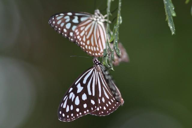 リュウキュウアサギマダラ-Img_8943
