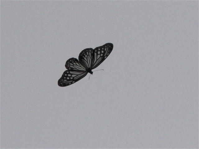 ヒメアサギマダラ-Im6_9274