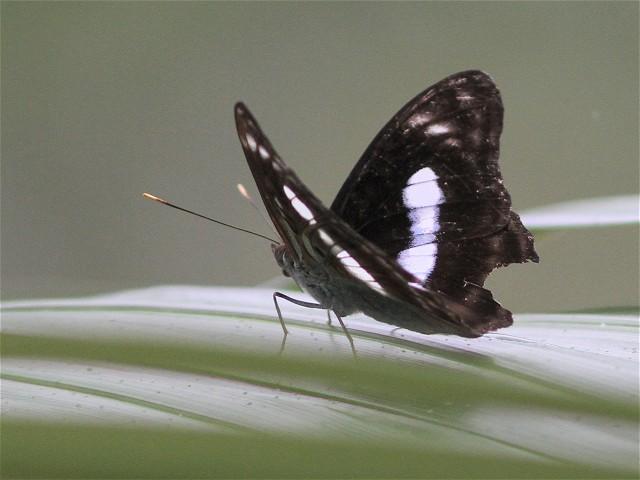 ヤエヤマイチモンジ-Im6_9444