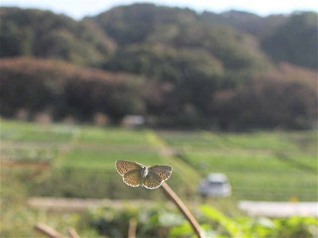 ヤマトシジミ飛-Img_4056