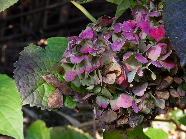 ムラサキツバメ-紫陽花-Rimg0460