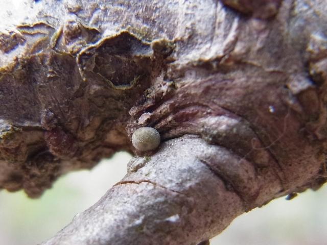 オオミドリシジミ卵-Rimg0844