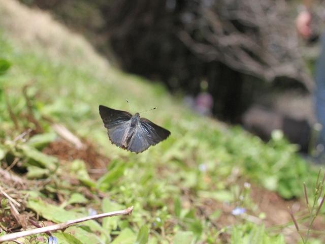 コツバメ飛-IM8_9345