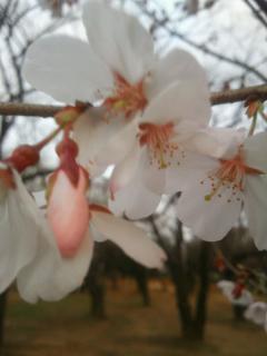 桜開花_02