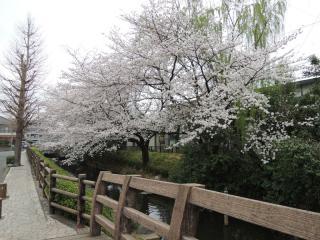 二ヶ領用水の桜_06