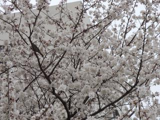 二ヶ領用水の桜_05