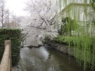 二ヶ領用水の桜_02