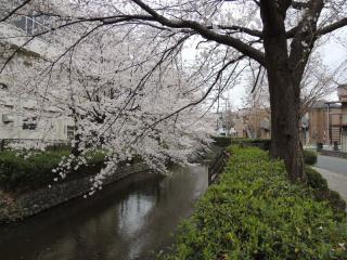 二ヶ領用水の桜_03