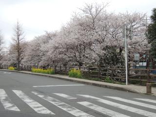 二ヶ領用水の桜_01
