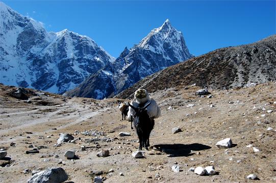 4千メートル高地を行くゾッキョ