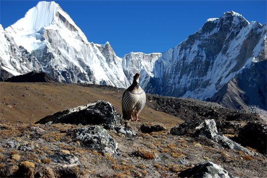 チベット雪鶏